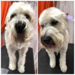 soft coated wheaton terrier